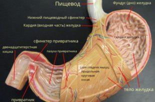 anatomiya-zheludka